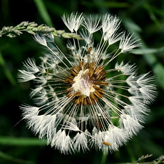 wet (Stiller Beobachter) Tags: macro wet rain dandelion blowball