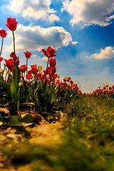 Tulip to Sky (Radek Lokos Fotografie) Tags: sky flower canon eos reisen outdoor pov himmel tulip blau blume freiburg landschaft tulpe 6d radeklokosfotografie