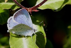 HOLLY BLUE (Bradders62) Tags: blue southwest nature butterfly wildlife butterflies insects somerset hollyblue canoneos7d