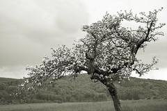 Apfelblte (glaserei) Tags: blte baum frhling blten
