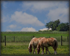 Out in the country (Kindred Souls) Tags: trees sunset horses horse fish texture water vegetables grass leaves sunshine birds clouds farmhouse barn creek sunrise fence pond corn cornfield stream pears hawk 10 farm bees wheat amish finch pasture lancaster bluejays cornfields peaches apples wildflowers hay sparrows oats colt cardinals greengrass farmstand lancasterpennsylvania thegalaxy amishfarm grazinghorses horsedrawnbuggy 10awards amishcountryfarm