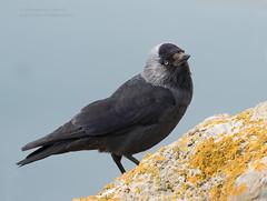Jackdaw -Corvus monedula (rosebudl1959) Tags: portland dorset 2016 jackdaw