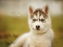 Husky puppy (Elisa Pirat) Tags: dog chien pet cute puppy husky vert bleu siberian printemps bb chiot mignon
