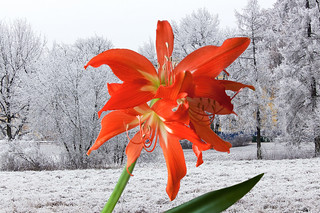 Амариллис. Colour and  snow 1.