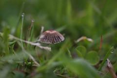 Stripes (gallserud) Tags: mushroom stripes macromondays