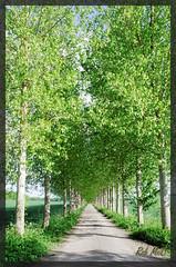 The Avenue (Rob McC) Tags: road trees track dof perspective rows avenue berkshire treelined