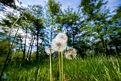 #Pusteblume (Patrick29985) Tags: blue light summer tree green spring sommer sony laub natur himmel grn blau blume bume perspektive frhling froschperspektive niedersachsen lwenzahn 10mm weitwinkel pusteblume sigma1020 naturpur herrlich frhlingserwachen sonyalpha sonyalpha77ii sonnensommer