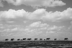 Elephant March (Usha Harish) Tags: family wild blackandwhite art nature march kenya wildlife fineart ngc safari elephants amboseli tusker greatphotographers wildlifephotography