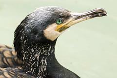 Cormorano (danyskar) Tags: nature closeup azzurro nero occhio uccello cormorano pianurapadana