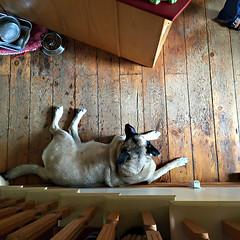 our dog Sadie (glantine) Tags: family hairy chien big peace floor pov sadie friendly gentle flexibility sloppy happyfathersday littledoglaughedstories sharpclawed loverofattention indoorsdog bringsasmiletoourhearts hardonsoftredpinefloor wellwornfloor