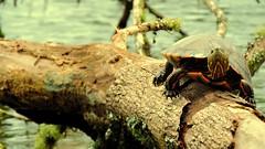 GabrielaSMllerDSCN4056 (Gabi-nete da Silveira Mller) Tags: lake tree animal lago turtle animais rvore calma tartaruga