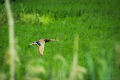 Mallard flies by (Molnar Gabor) Tags: wild bird nature flying duck mallard anas animalia flyby platyrhynchos stockente