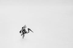 Landing (jazzyoki) Tags: bw bird water monochrome blackwhite florida flight pelican minimal landing negativespace minimalistic bnw