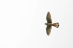 Overhead Kestrel (abritinquint Natural Photography) Tags: bird vogel natural nature wild wildlife nikon d7200 telephoto 300mm pf f4 300mmf4 nikkor teleconvertor tc14eii pfedvr germany tc17eii kestrel flight inflight overhead prey