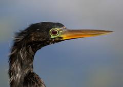 Bazinga, it's an Anhinga (Darts5) Tags: bird birds closeup canon upclose seabird anhinga divingbird anhingas 7d2 bazinga maleanhinga 7dmarkii canon7d2 canon7dmarkii 7dmarkll canon7dmarkll 7d2canon