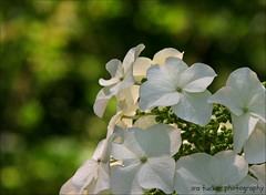 If you will stay close to nature, to its simplicity, to the small things hardly noticeable.... (itucker, thanks for 2.2+ million views!) Tags: macro bokeh dukegardens oakleafhydrangea hydragea hbw