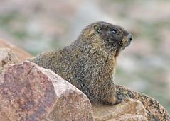 Yellow-bellied Marmot (Marmota flaviventris) (Ron Wolf) Tags: nature rodent colorado wildlife rockymountains rodentia sciuridae yellowbelliedmarmot marmotaflaviventris