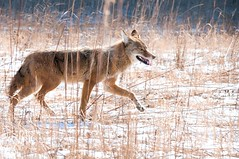 2016 Coyote 7 (DrLensCap) Tags: coyote chicago robert animal court mammal illinois il erie predator kramer mcclurg