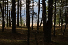 Hinter dem Wald ist das Meer (im_fluss) Tags: wood holiday strand sand forrest urlaub balticsea latvia ufer wald ostsee kiefern lettland saulkrasti livland batciems