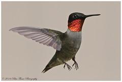 Ruby-throated Hummingbird (male)  (Rodolfo Quinio) Tags: nature hummingbird wildlife ngc npc rubythroatedhummingbird laurelmd coth annearundelcounty nikond500 rubythroatedhummingbirdmale coth5 sunrays5 patuxentresearchrefugenorthtract