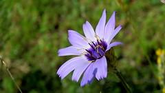 Catananche bleue (bernard.bonifassi) Tags: bb088 06 alpesmaritimes 2016 thiery counteadenissa fleur catananchebleue plante
