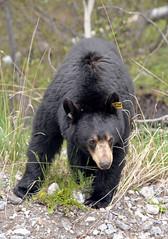 Black Beart_Banff_Canada_DSC_2150_2_D (renrut01) Tags: road bear canada male eating banff blackbear discoverytours