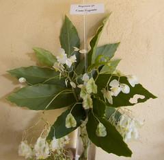 Begonia Cane Stem