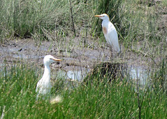 Cattle Egrets (Kelly Preheim) Tags: cattle egrets