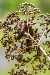 Narceus americanus (pink footed millipede) in last year's seed head of Hydrangea arborescens (wild hydrangea) [many observed] (tgpotterfield) Tags: usa westvirginia greenbrierrivertrail narceusamericanus narceus myriapods spirobolidae greenbriercountywv pinkfootedmillipede