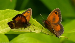 Face à face (zogt2000 (No Video)) Tags: butterfly garden jardin bretagne papillon amaryllis