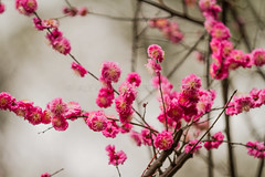 ADF_20140225_0252 (chiyowolf) Tags: chengdu sichuanprovince canoneos7d china plumblossom ef70200mmf28lisiiusm springseason pink   travelphotography