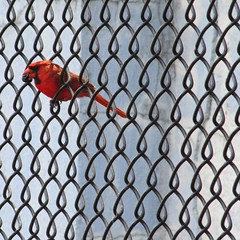 squeezing by (weltreisender2000) Tags: red urban bird boston fence wire cardinal geometry