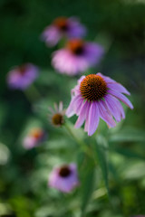 Sunlit Echinaceas (Jim.Collins) Tags: flowers flower zeiss echinacea picturesque fantasticflower otus1455 zeissotus