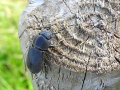 Klein Vliegend Hert (Dorcus parallelipipedus) (Frank Berbers) Tags: insect kever kfer beetle bug coleoptera coloptres scarabaeiformia lucanidae vliegendhert kleinerrehschrter middenlimburg nederland nikoncoolpixp610 macro