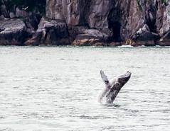 Aialik Cape (Gentilcore) Tags: ocean water alaska unitedstates whale humpback kenaipeninsula nationalparkservice mammals seward breaching gulfofalaska baleen megapteranovaeangliae breach marinemammals kenaifjordsnationalpark kenaipeninsulaborough balaenopteridae aialikcape