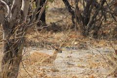 Moremi Game Reserve - Steenbok (www.JnyAroundTheWorld.com - Pictures & Travels) Tags: africa nature animal animals fauna wildlife safari botswana wilderness animaux moremi okavango faune moremigamereserve steenbok jny okawango