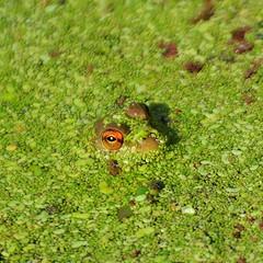 Bullfrog, young peering out through wolfia (birding4ever) Tags: 5 bullfrog americanriverparkway sailorbar ranacatesbeiana