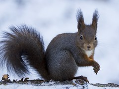 Ekorre Ardilla  Red squirrel Sciurus vulgaris (StefanOlaison) Tags: sweden schweden sverige ekorre suecia ardilla redsquirrel sciurusvulgaris eksj hglandet naturfotohglandet