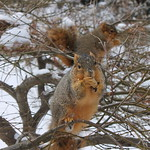 Squirrels in the Snow on a Very Cold Day at the University of Michigan (January 9, 2015) thumbnail