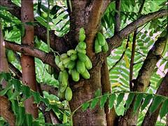 Cucumber Tree --- Gurkenbaum --- Pepino de las Indias (Walkuere123) Tags: cuba medicinalplants oxalidaceae plantasmedicinales heilpflanzen averrhoa bilimbi averrhoabilimbi cucumbertree gurkenbaum canonsx700 pepinodelasindias