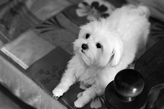 9219 - Kira (Diego Rosato) Tags: kira bianconero animali cani