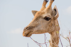 Pensive giraffe (BenRHarper) Tags: africa orange one safari solo lone pensive chewing giraffe botswana simple