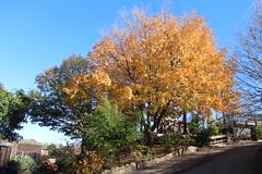 Fall Tree (laedri52) Tags: fall yellow zoo nebraska omaha hazan sarı ağaç hayvanatbahçesi sonbahar akvaryum güz omahashenrydoorlyzooaquarium