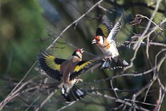 Goldfinch Fight (arthurpolly) Tags: wild nature photoshop canon eos fight wildlife goldfinch flight elements avian naturesfinest 70200is passionphotography platinumphoto impressedbeauty avianexcellence flickrdiamond unforgettablepictures betterthangood goldstaraward 7dmk2