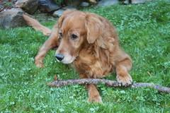 Duke (skipmoore) Tags: dog duke retriever companion mountainhome