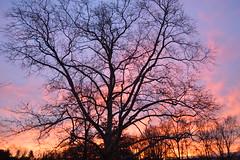 tree sunrise sycamore montgomerycountypa limericktownship
