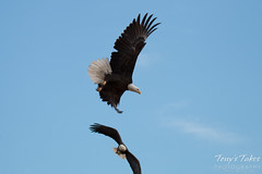 6 of 8 - Bald Eagle chases off another eagle