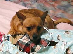 Mine - All Mine (M.P.N.texan) Tags: christmas dog blanket chuck blankie miniaturepinscher minpin toydog