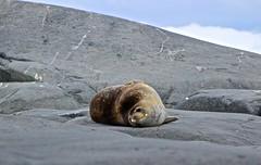 Neko Harbour (jenivn) Tags: brown argentina stone grey antarctica seal smirk weddellseal southocean whitecontinent