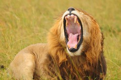 A Xmas Cheer. (john a d willis) Tags: christmas xmas kenya lion fangs roaring yuletide massaimara